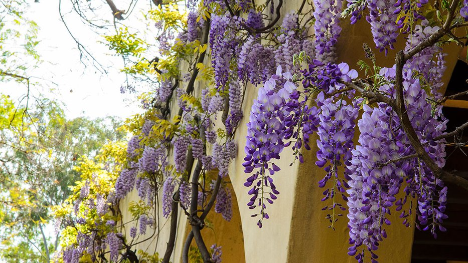 Wisteria blooming on campus