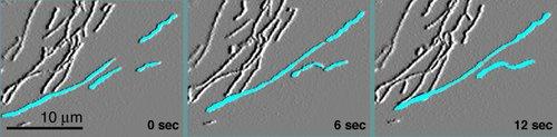 Mitochondria undergoing fusion