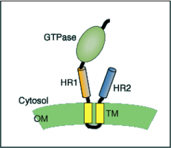 Schematic of mitofusin protein