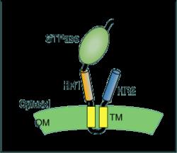 Schematic of mitofusin protein