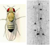 Insect and brain circuits