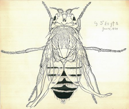 Drosophila by Edith Wallace for Thomas Hunt Morgan 1934 Caltech Archives