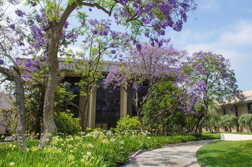 Jacaranda Trees in front of Baxter Hall