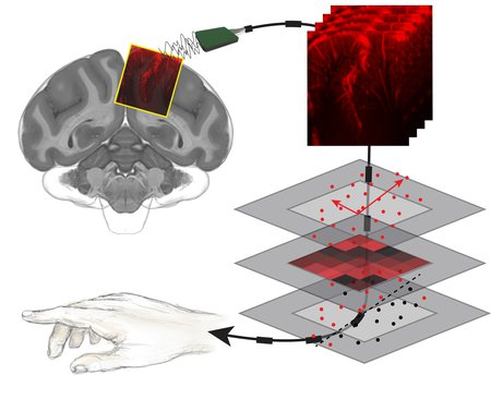 A diagram illustrating a brain connected to a cable, that reads out brain activity and creates maps of the brain's vasculature, that are then decoded with machine learning to predict movements