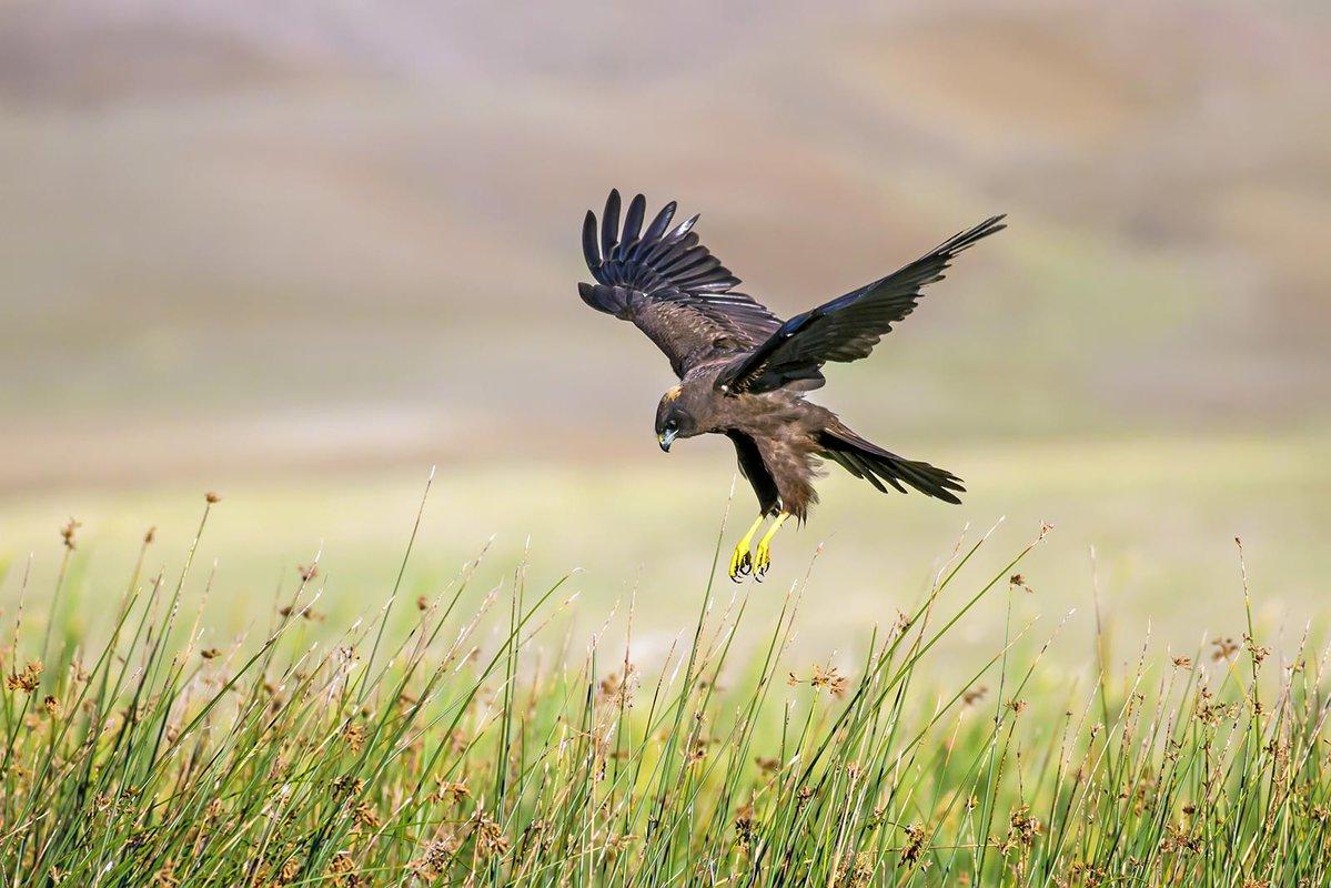 A hawk dives to catch prey