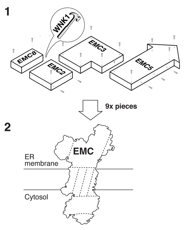 An IKEA-like diagram of nine protein subunits coming together to make up the EMC