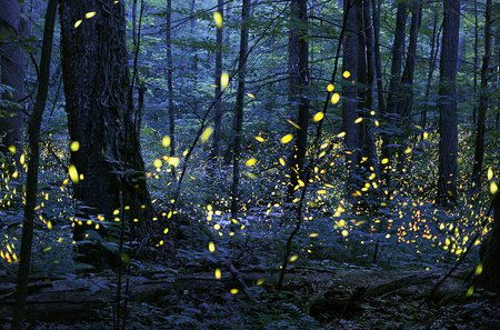 Picture of fireflies flashing in unison.